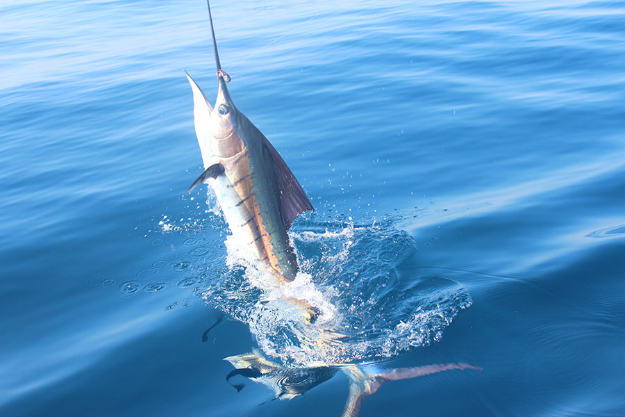 Why is Guatemala the Billfish Capital of the World?